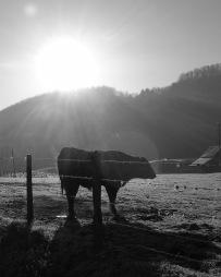 "Cow in the Sun, 8""x10"" digital photograph"