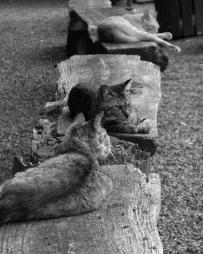 "Temple Cats, Isshinji Temple, Osaka, Japan, 8""x10"" digital photograph"